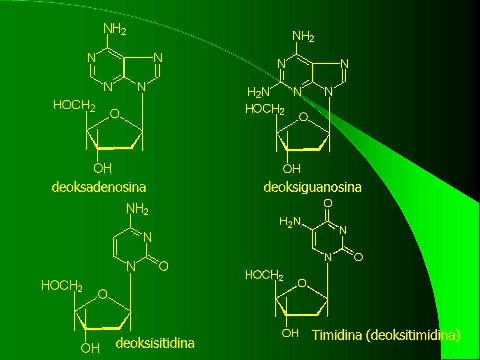 deoksadenosina deoksiguanosina Timidina (deoksitimidina) deoksisitidina