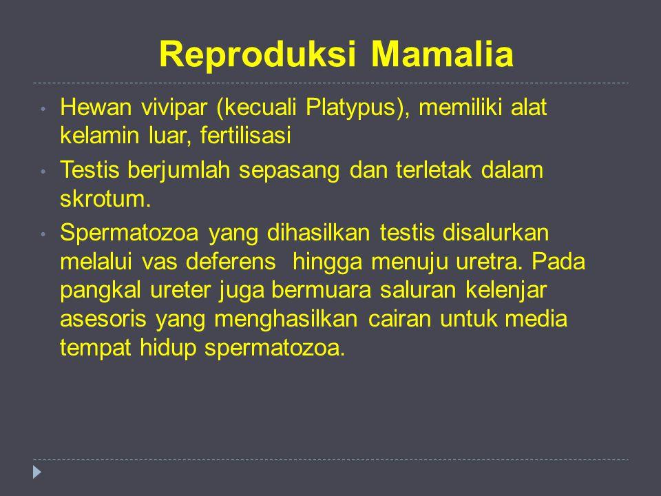 Reproduksi Mamalia Hewan vivipar (kecuali Platypus), memiliki alat kelamin luar, fertilisasi.