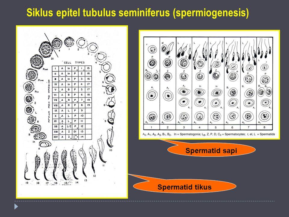 Siklus epitel tubulus seminiferus (spermiogenesis)