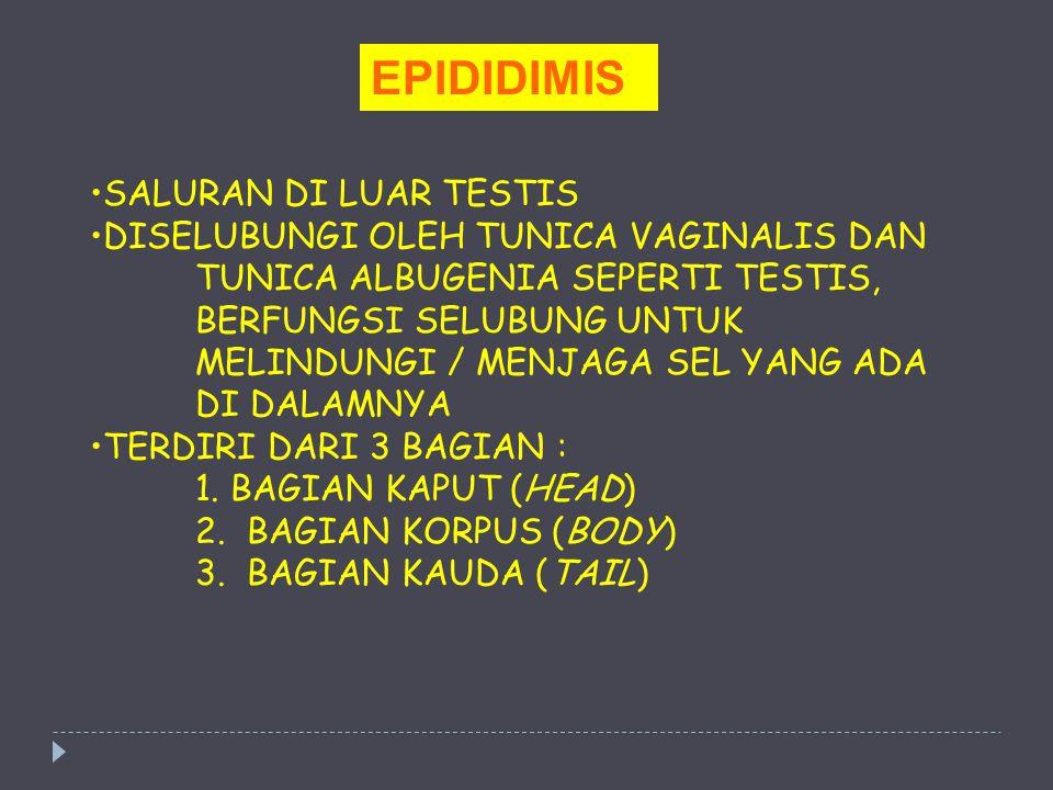 EPIDIDIMIS SALURAN DI LUAR TESTIS