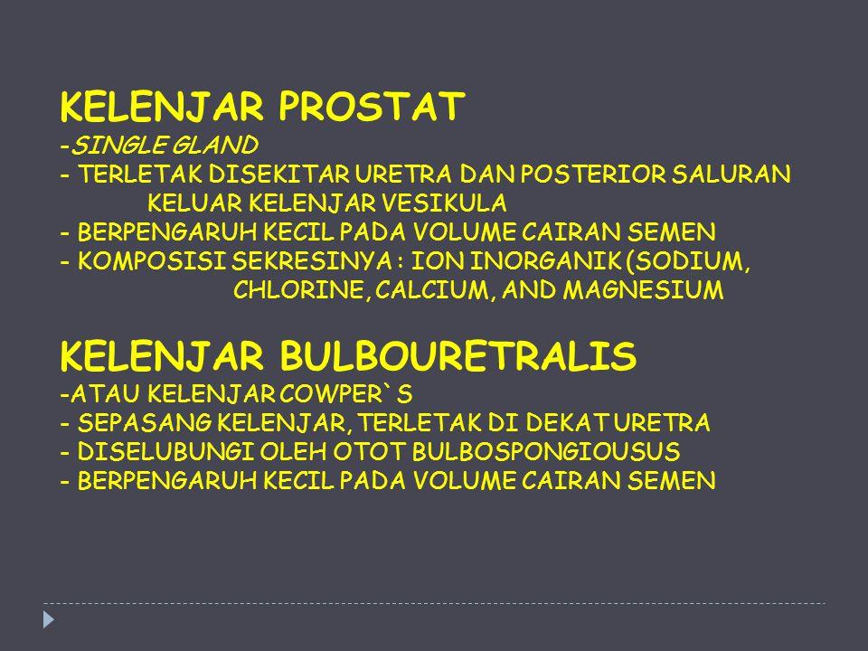 KELENJAR BULBOURETRALIS