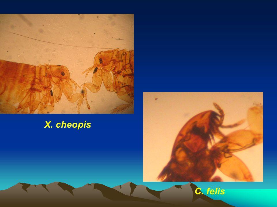 X. cheopis C. felis