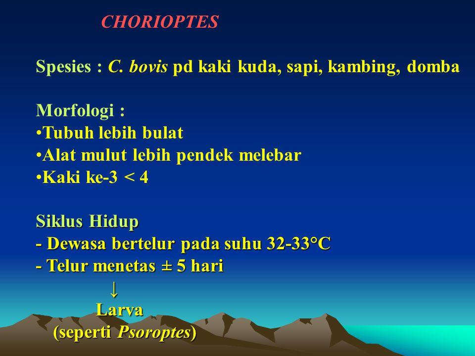 Spesies : C. bovis pd kaki kuda, sapi, kambing, domba Morfologi :