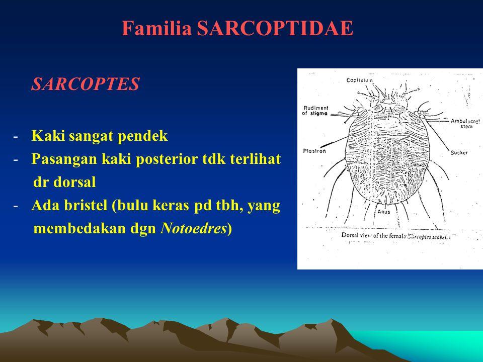Familia SARCOPTIDAE SARCOPTES Kaki sangat pendek