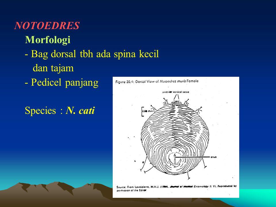 NOTOEDRES Morfologi - Bag dorsal tbh ada spina kecil dan tajam - Pedicel panjang Species : N. cati