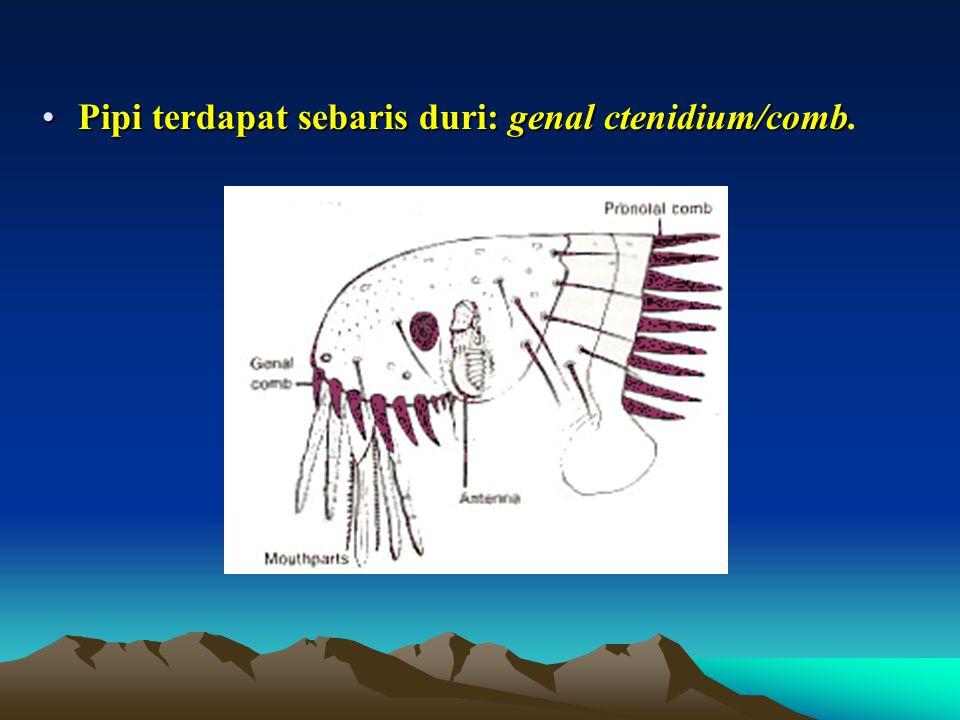 Pipi terdapat sebaris duri: genal ctenidium/comb.
