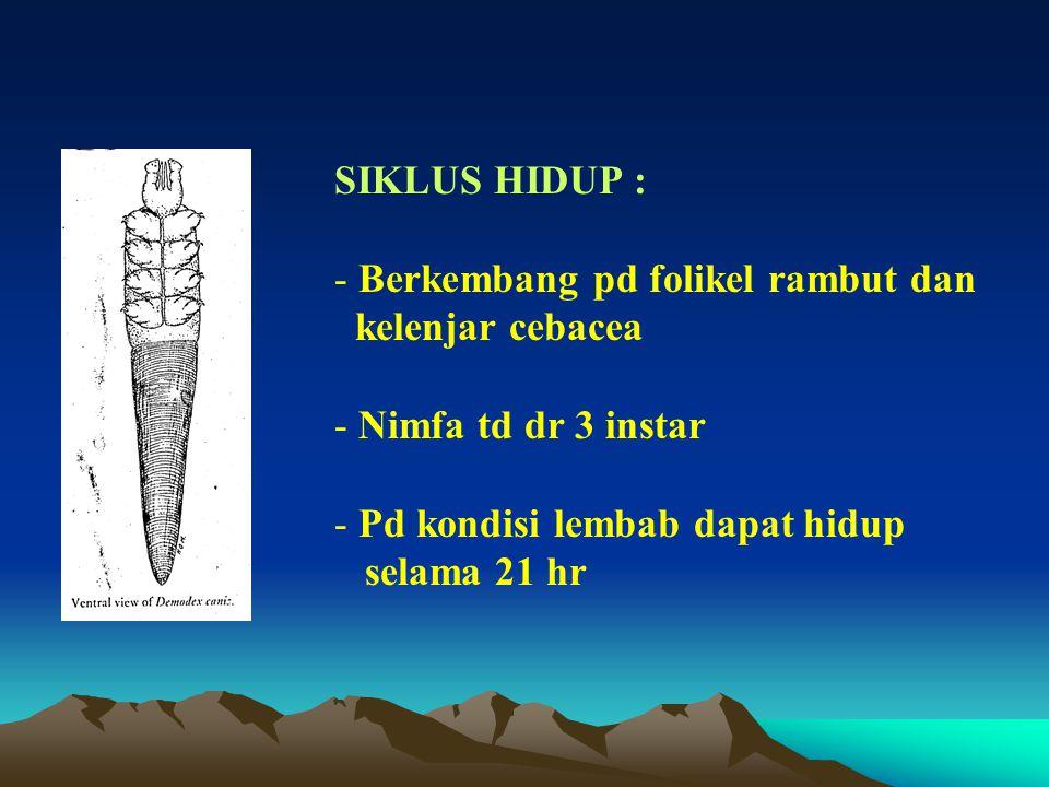 SIKLUS HIDUP : Berkembang pd folikel rambut dan. kelenjar cebacea. Nimfa td dr 3 instar. Pd kondisi lembab dapat hidup.