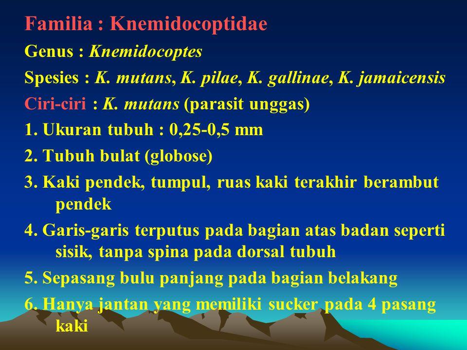 Familia : Knemidocoptidae