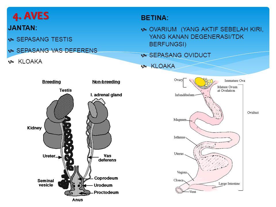 4. AVES BETINA: OVARIUM (YANG AKTIF SEBELAH KIRI, YANG KANAN DEGENERASI/TDK BERFUNGSI) SEPASANG OVIDUCT.