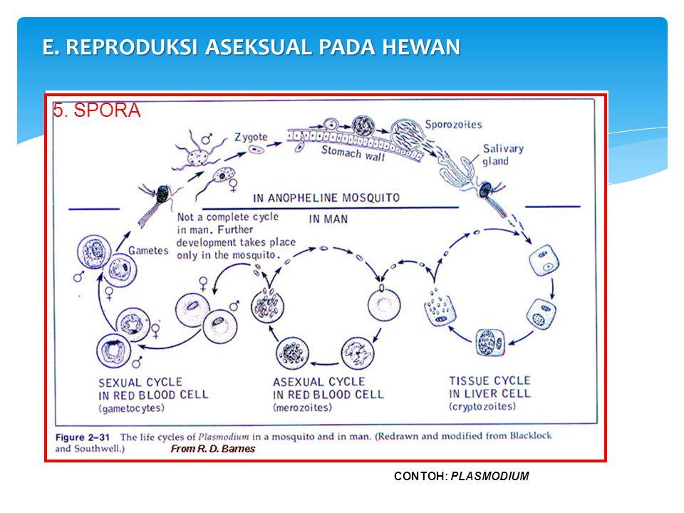 E. REPRODUKSI ASEKSUAL PADA HEWAN