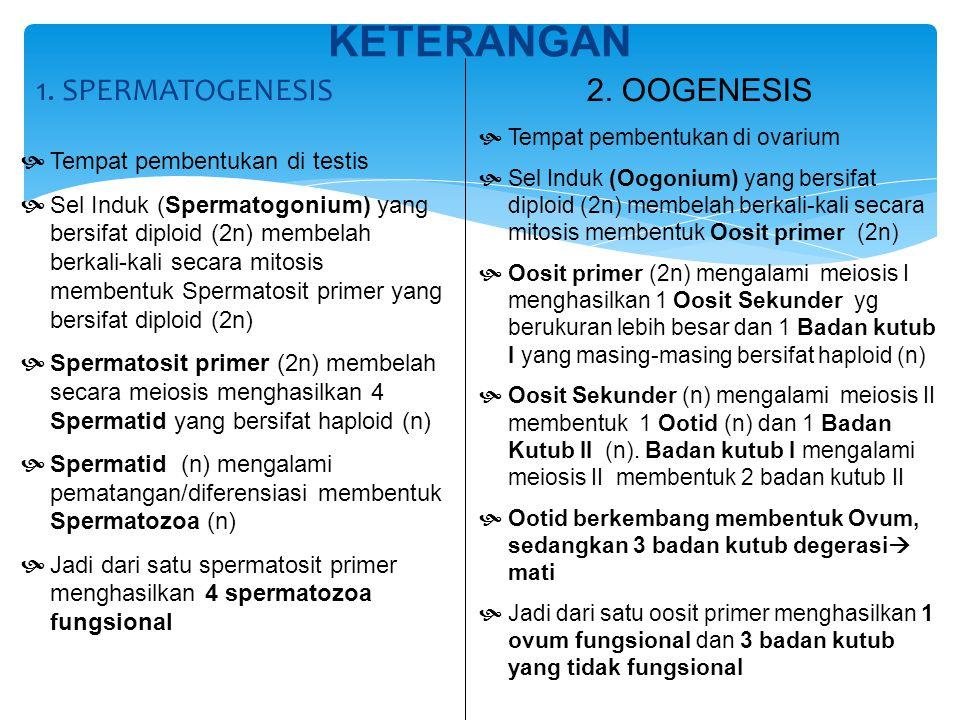 KETERANGAN 1. SPERMATOGENESIS 2. OOGENESIS