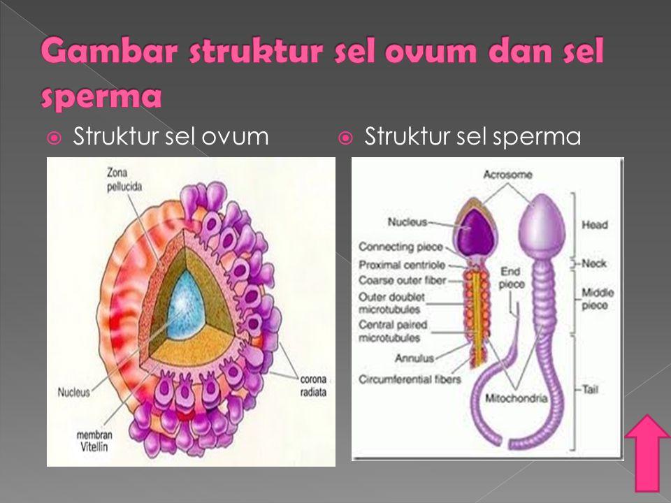 Gambar struktur sel ovum dan sel sperma