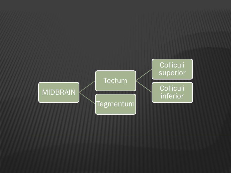 MIDBRAIN Tectum Colliculi superior Colliculi inferior Tegmentum