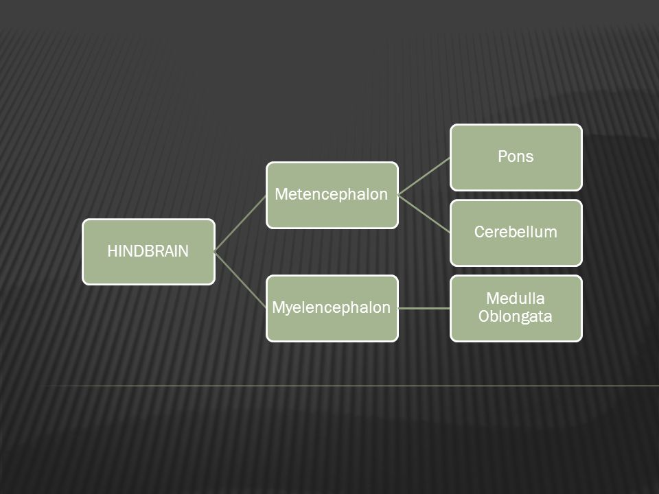 HINDBRAIN Metencephalon Pons Cerebellum Myelencephalon Medulla Oblongata