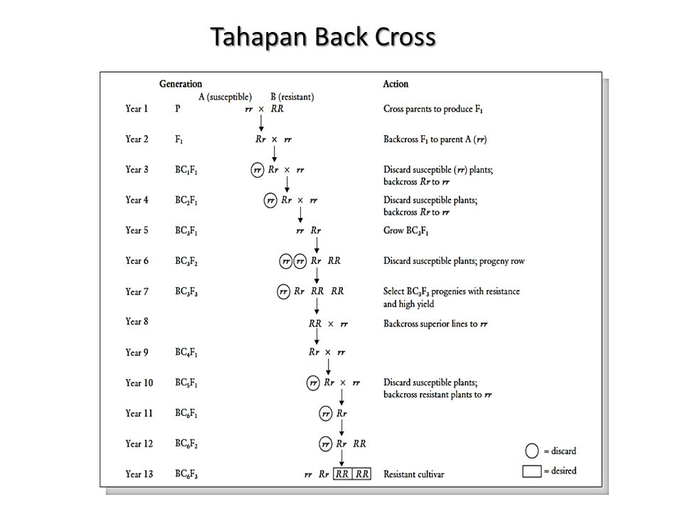 Tahapan Back Cross