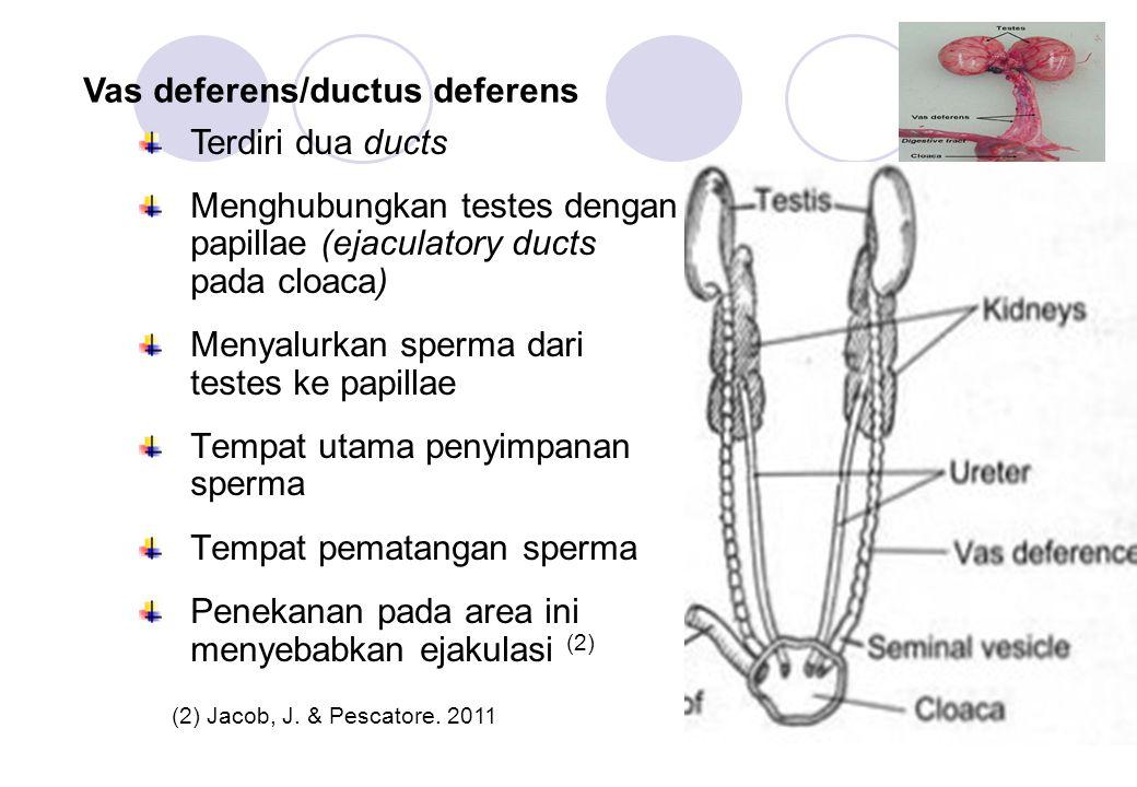 Menghubungkan testes dengan papillae (ejaculatory ducts pada cloaca)