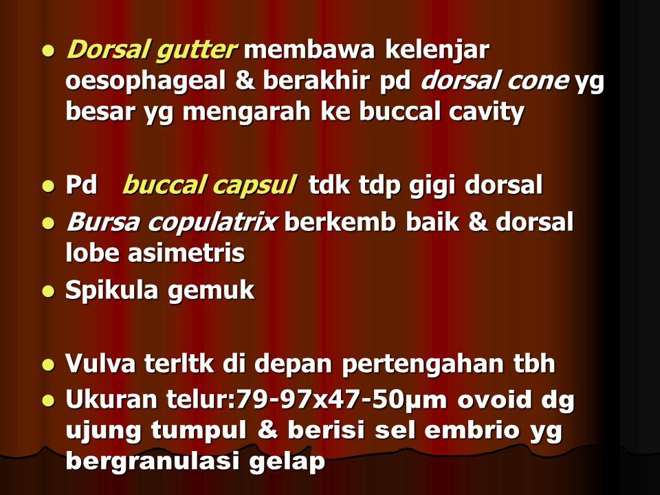 Dorsal gutter membawa kelenjar oesophageal & berakhir pd dorsal cone yg besar yg mengarah ke buccal cavity