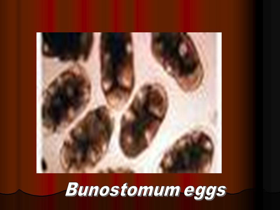 Bunostomum eggs