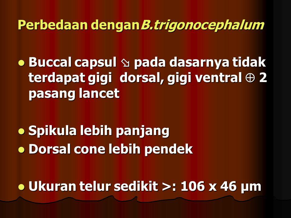 Perbedaan denganB.trigonocephalum