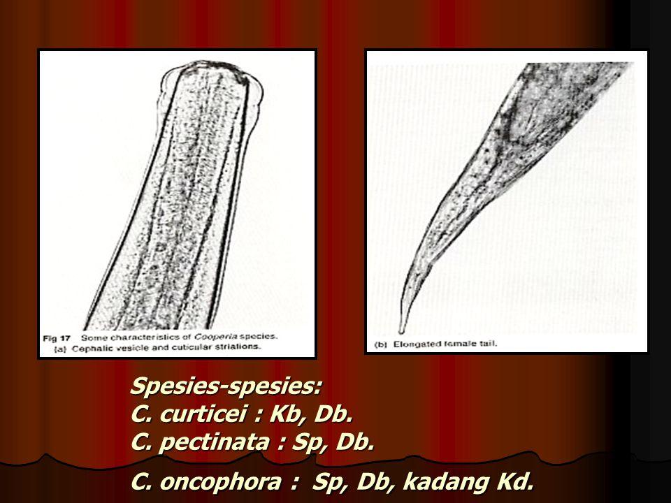 Spesies-spesies: C. curticei : Kb, Db. C. pectinata : Sp, Db. C