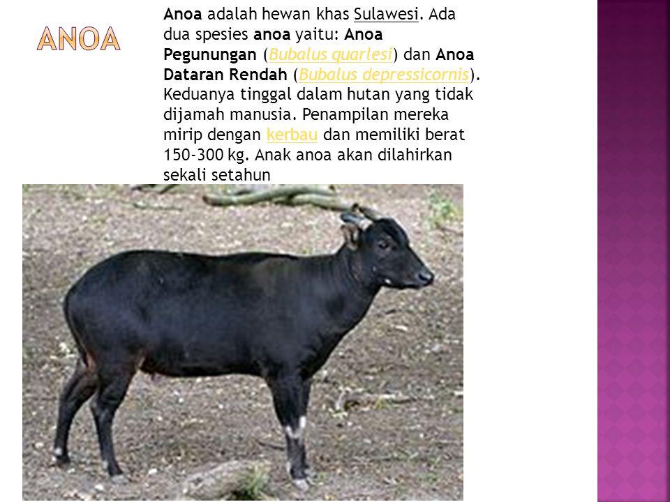 Anoa adalah hewan khas Sulawesi