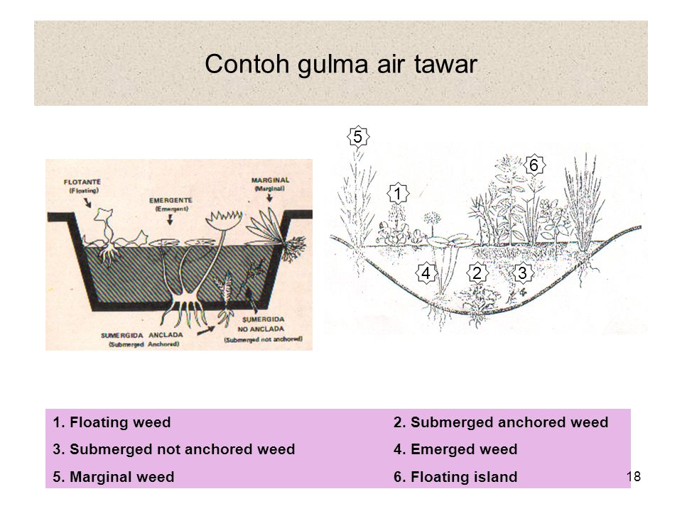 Contoh gulma air tawar 5. 6. 1. 4. 2. 3. 1. Floating weed 2. Submerged anchored weed. 3. Submerged not anchored weed 4. Emerged weed.