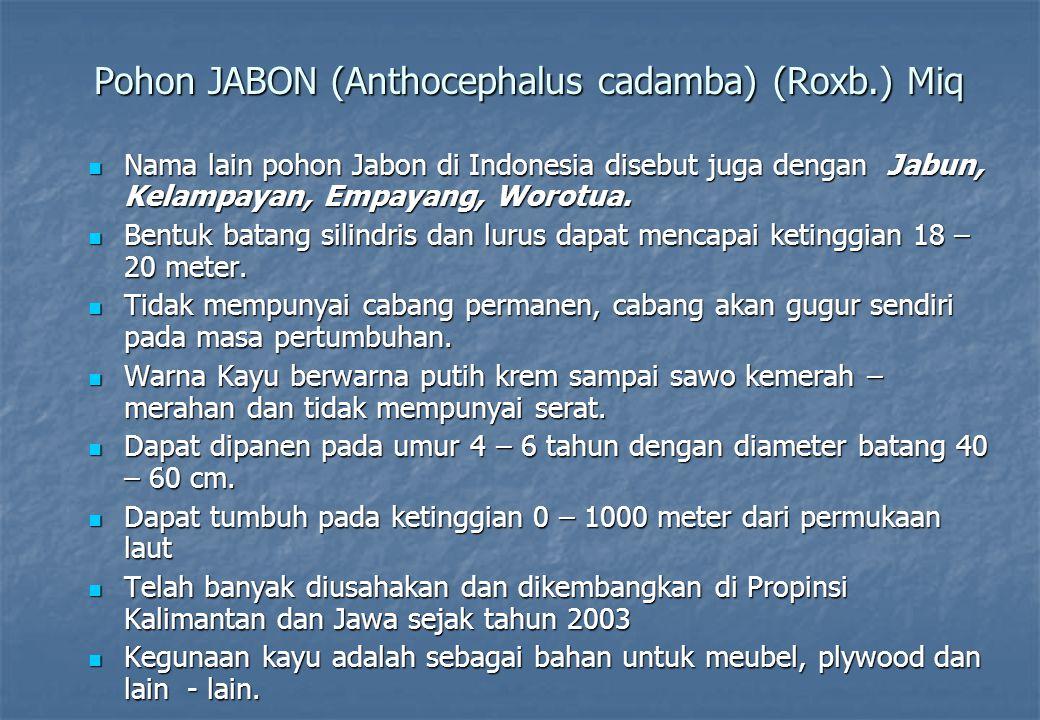 Pohon JABON (Anthocephalus cadamba) (Roxb.) Miq