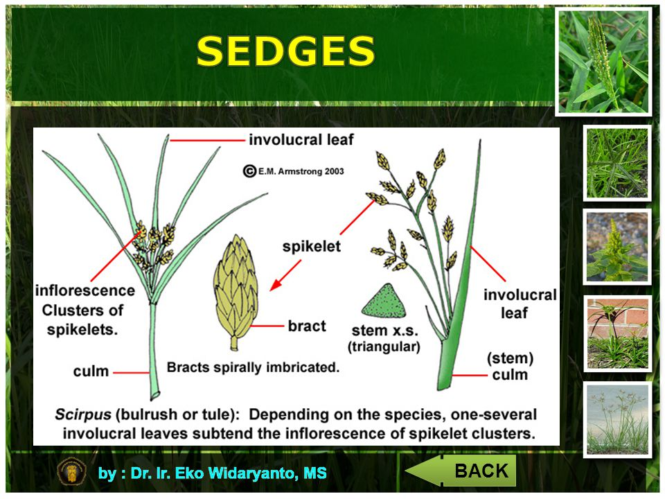 SEDGES BACK