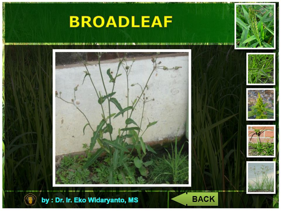 BROADLEAF BACK