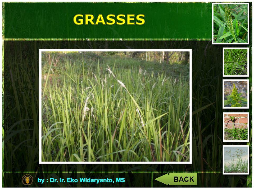 GRASSES BACK