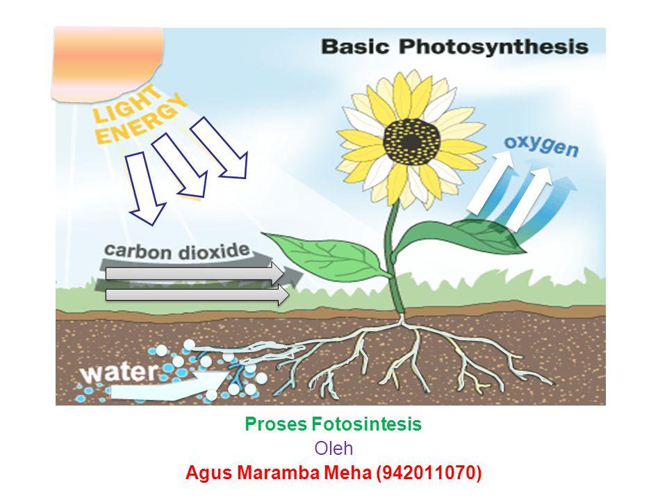 Proses Fotosintesis Oleh Agus Maramba Meha (942011070)