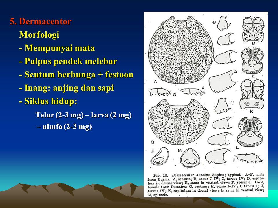 - Palpus pendek melebar - Scutum berbunga + festoon