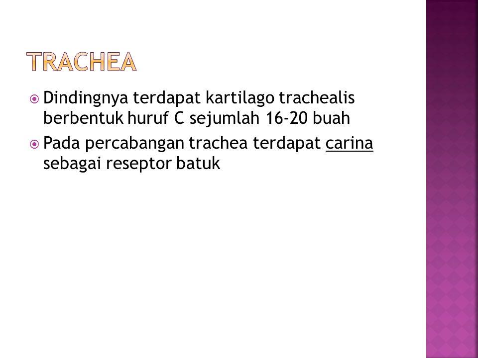 Trachea Dindingnya terdapat kartilago trachealis berbentuk huruf C sejumlah 16-20 buah.