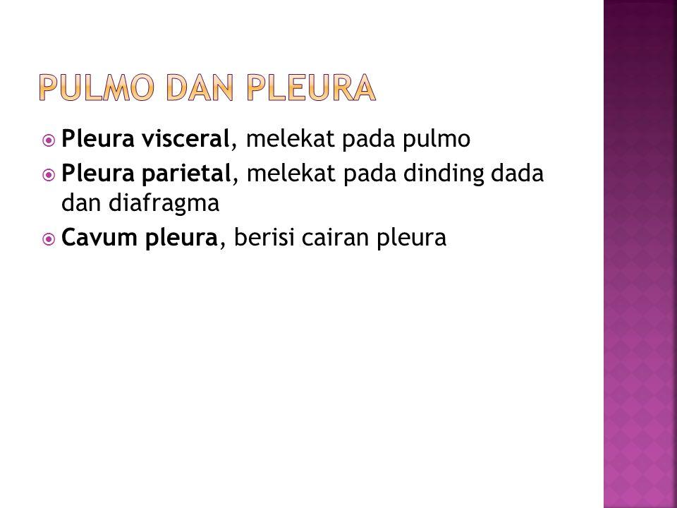 Pulmo dan Pleura Pleura visceral, melekat pada pulmo