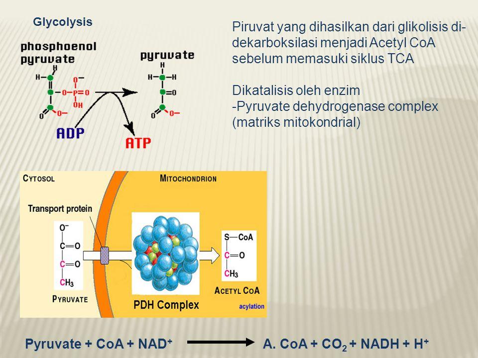 Dikatalisis oleh enzim Pyruvate dehydrogenase complex