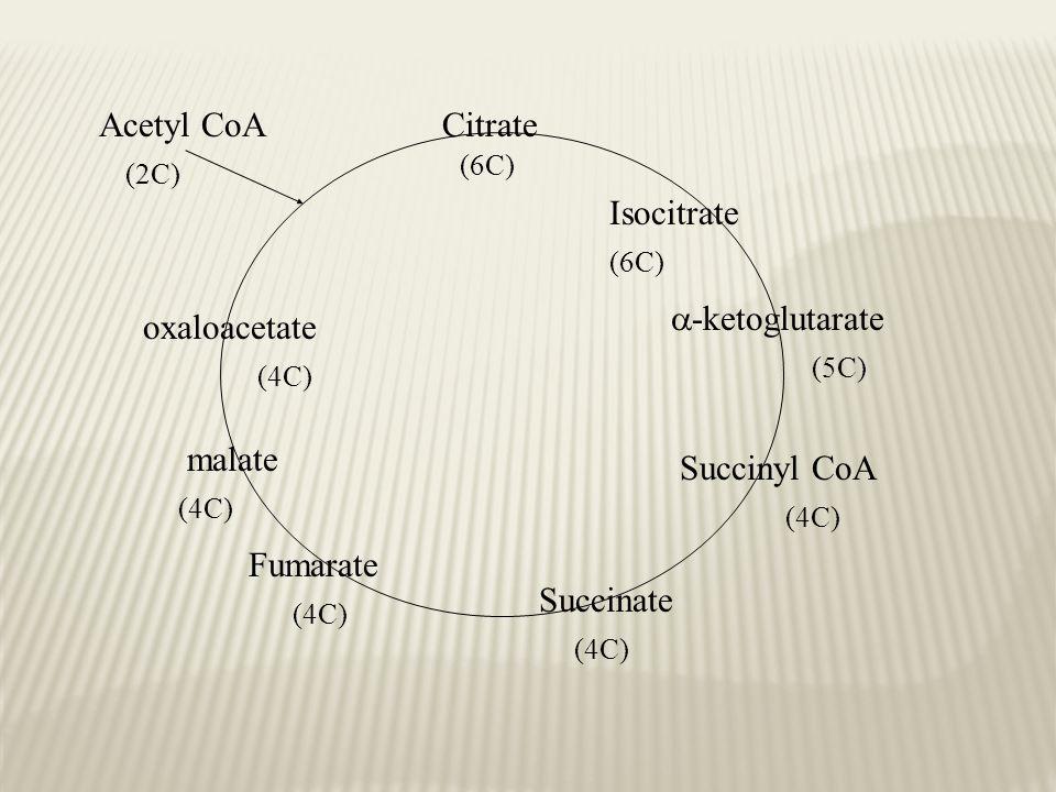 Acetyl CoA Citrate Isocitrate -ketoglutarate oxaloacetate malate