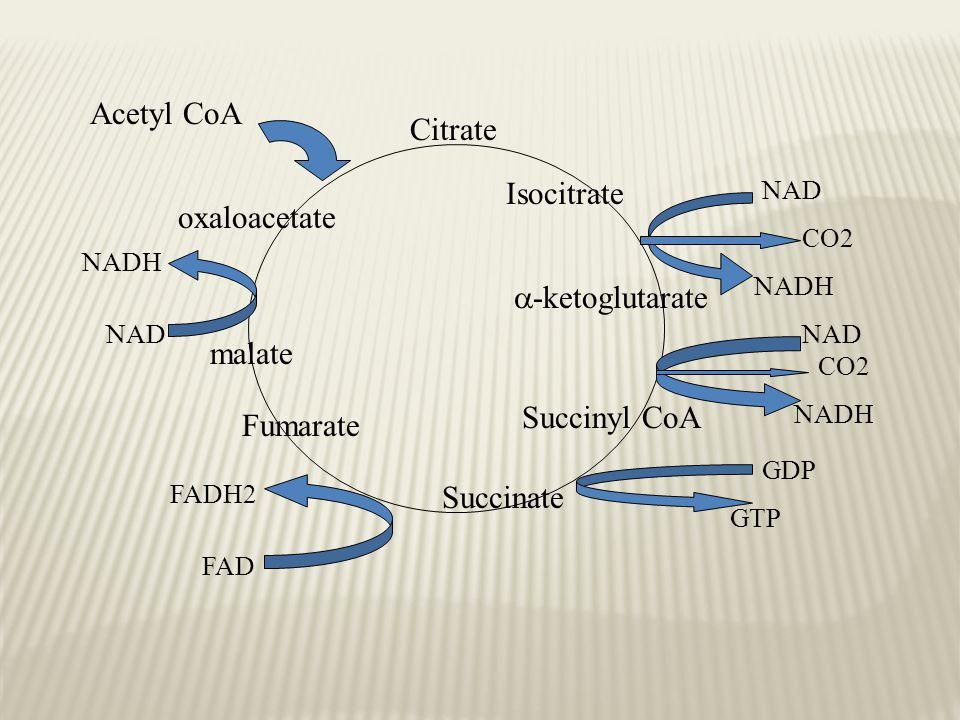 Acetyl CoA Citrate Isocitrate oxaloacetate -ketoglutarate malate