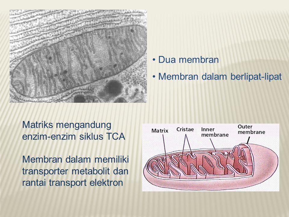 • Dua membran • Membran dalam berlipat-lipat. Matriks mengandung enzim-enzim siklus TCA.