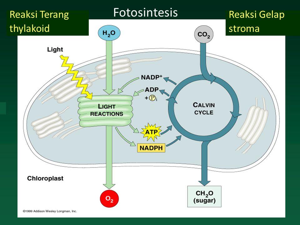 Fotosintesis Reaksi Terang thylakoid Reaksi Gelap stroma