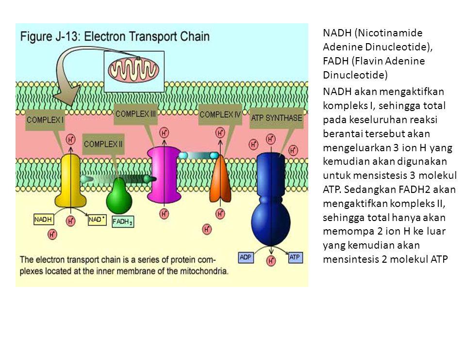 NADH (Nicotinamide Adenine Dinucleotide), FADH (Flavin Adenine Dinucleotide) NADH akan mengaktifkan kompleks I, sehingga total pada keseluruhan reaksi berantai tersebut akan mengeluarkan 3 ion H yang kemudian akan digunakan untuk mensistesis 3 molekul ATP.