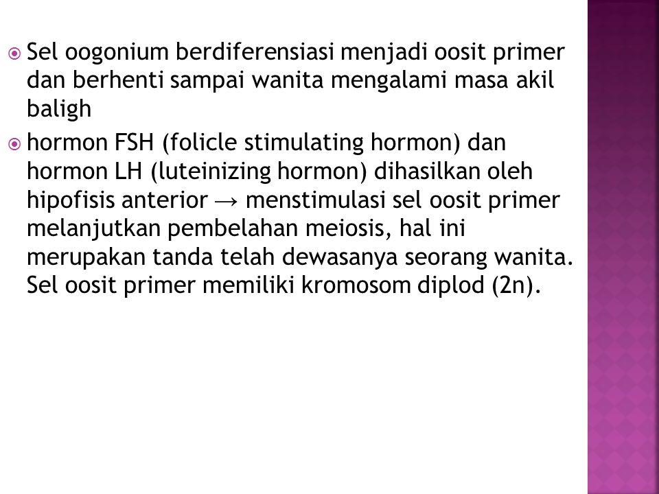 Sel oogonium berdiferensiasi menjadi oosit primer dan berhenti sampai wanita mengalami masa akil baligh