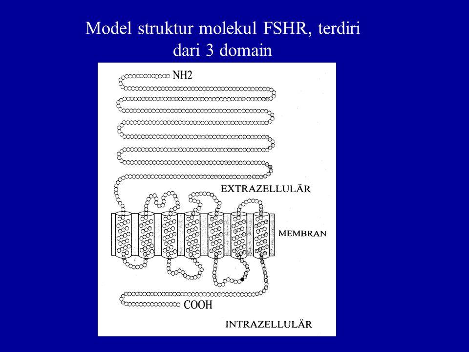 Model struktur molekul FSHR, terdiri dari 3 domain