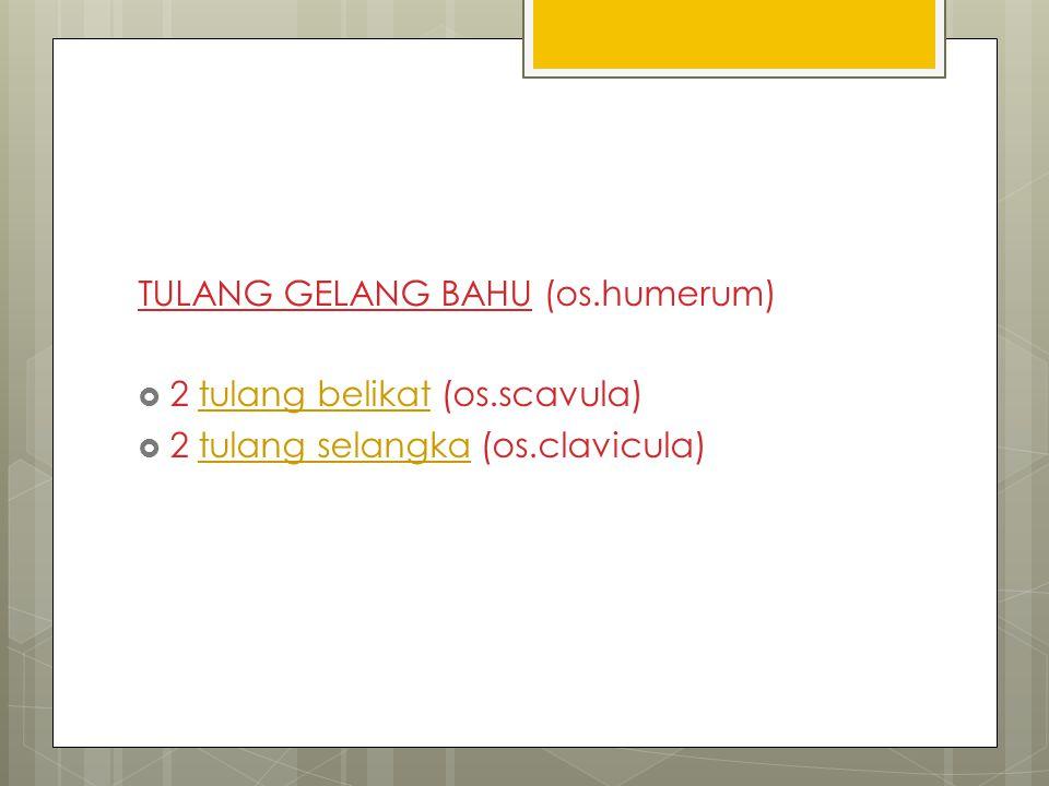 TULANG GELANG BAHU (os.humerum)