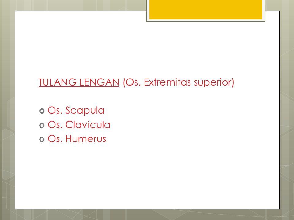 TULANG LENGAN (Os. Extremitas superior)