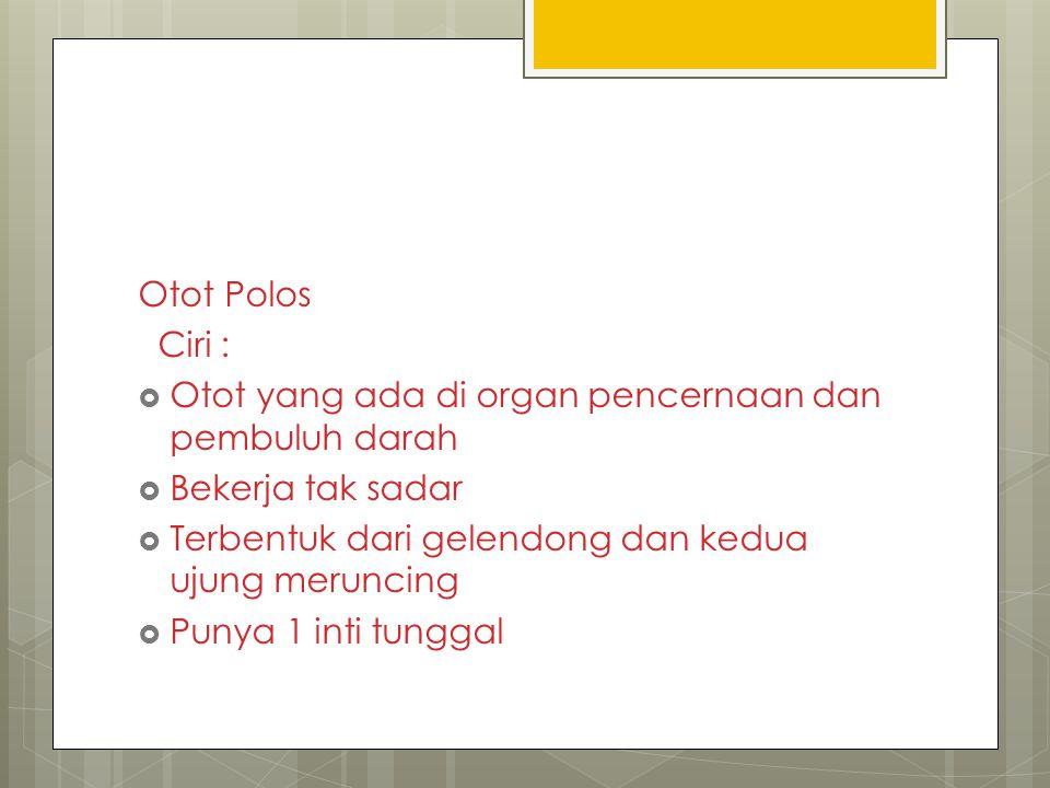 Otot Polos Ciri : Otot yang ada di organ pencernaan dan pembuluh darah. Bekerja tak sadar. Terbentuk dari gelendong dan kedua ujung meruncing.
