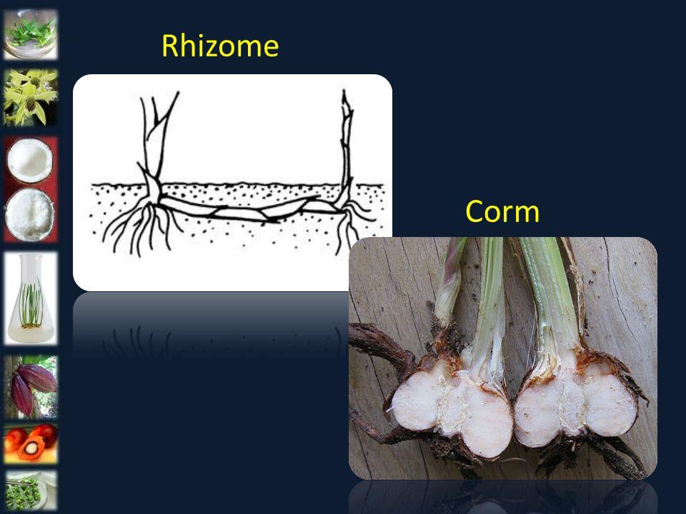 Rhizome Corm