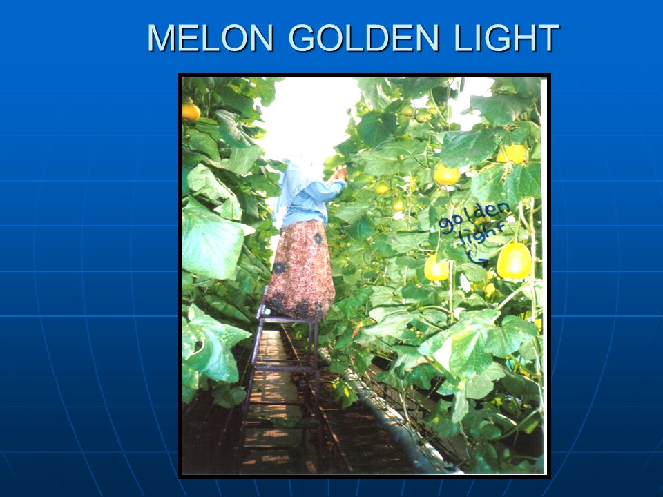 MELON GOLDEN LIGHT