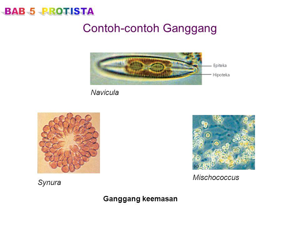 Contoh-contoh Ganggang