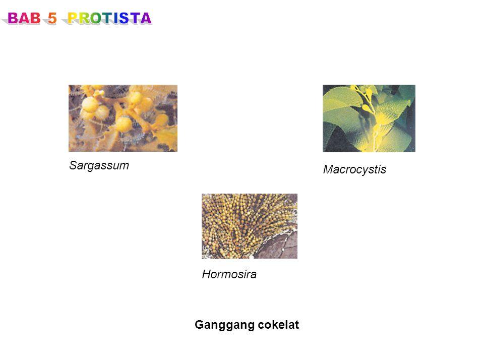BAB 5 PROTISTA Sargassum Macrocystis Hormosira Ganggang cokelat