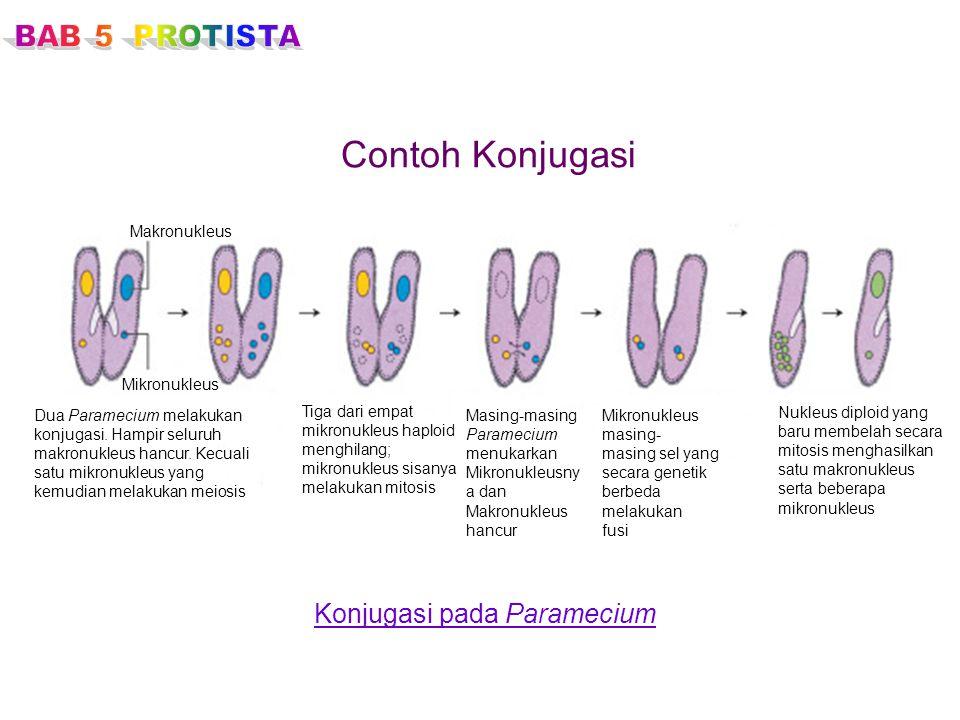 Contoh Konjugasi Konjugasi pada Paramecium BAB 5 PROTISTA Makronukleus